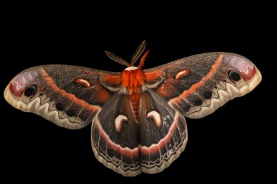 Picture of a cecropia moth (Hyalaophora cecropia).