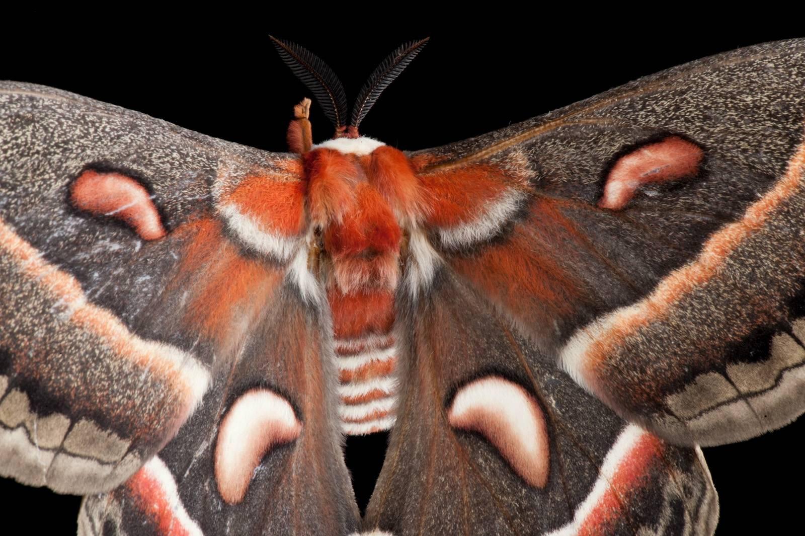 Photo: A cecropia moth (Hyalaophora cecropia).
