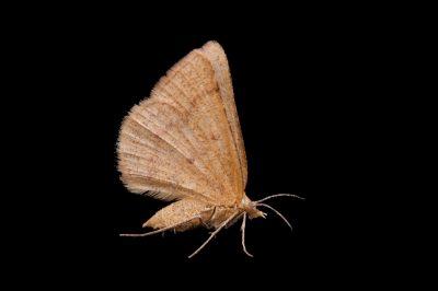 A geometer moth (Drepanulatrix sp.) from Dieken Prairie near Undadilla, Nebraska.