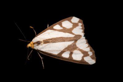A tiger moth (Haploa reversa) from Dieken Prairie near Unadilla, Nebraska.