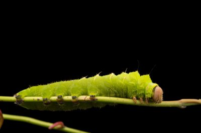Picture of a polyphemus moth caterpillar (Antheraea polyphemus) at the Minnesota Zoo.