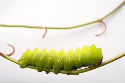 Picture of a polyphemus moth caterpillar (Antheraea polyphemus) at the Minnesota Zoo.