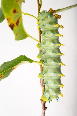 Picture of a cecropia moth caterpillar (Hyalophora cecropia) at the Minnesota Zoo.