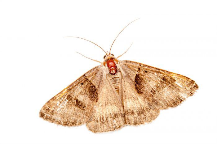 A forage looper moth (Caenurgina erechtea) at Spring Creek Prairie near Denton, Nebraska.