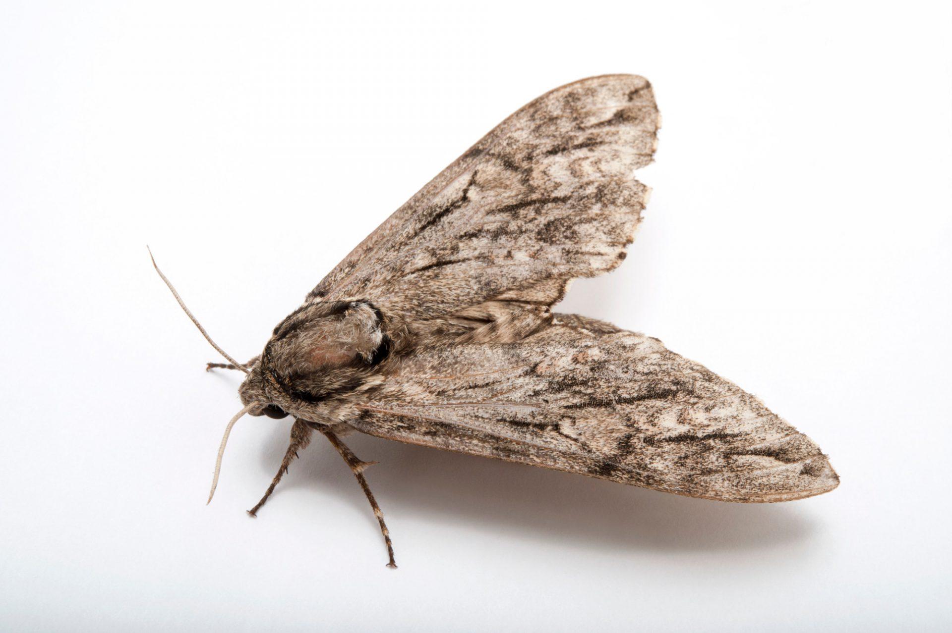 An elm sphinx moth (Ceratomia amyntor) at Spring Creek Prairie near Denton, Nebraska.