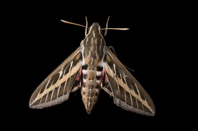 Picture of a white-lined sphinx (Hyles lineata) from the wild in Oklahoma City, Oklahoma.