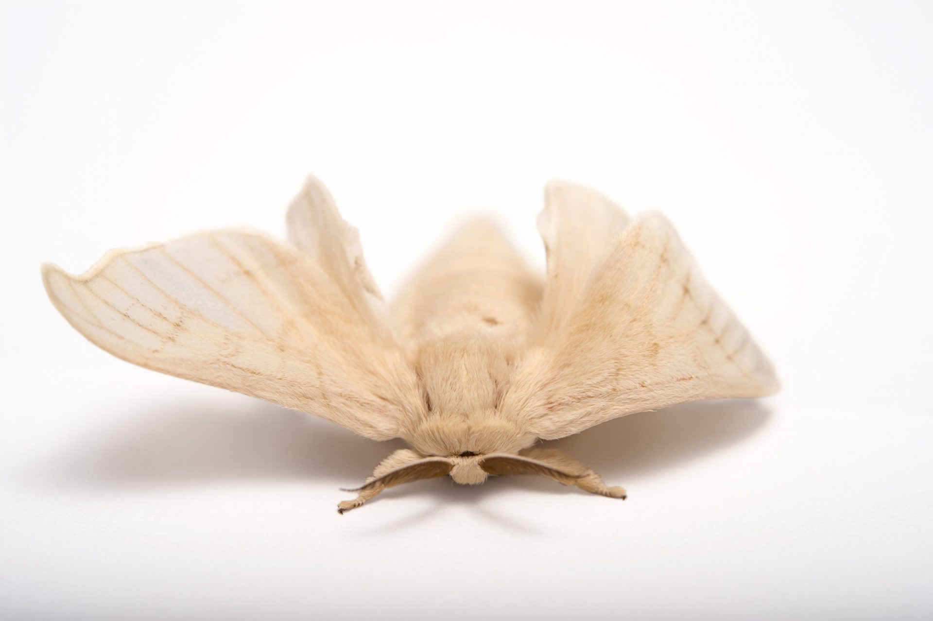 Picture of a silkworm moth (Bombyx mori) at the St. Louis Zoo.