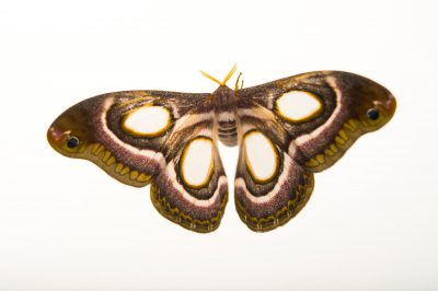 Photo: White-ringed atlas moth (Epiphora mythimnia) at the McGuire Center of the Florida Museum of Natural History.
