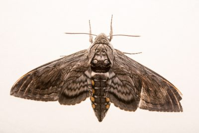 Photo: A five-spotted hawk moth (Manduca quinquemaculata) from the wild in Walton, Nebraska.