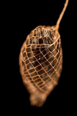 Photo: Bumelia webworm moth pupa (Urodus parvula) from the wild.