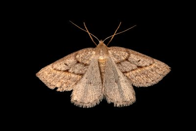 Photo: Moth (Chemerina caliginearia) at Graham's Quinta dos Malvedos Vineyard.