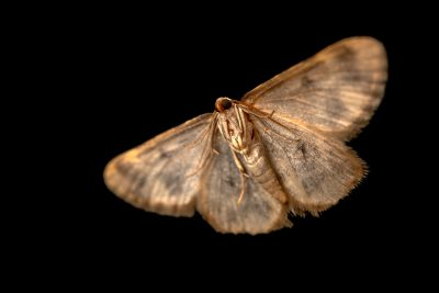 Photo: Coppery taupe moth (Charissa mucidaria) at Graham's Quinta dos Malvedos Vineyard.