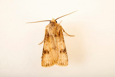 Photo: Moth (Argrotis puta) at Graham's Quinta dos Malvedos Vineyard.