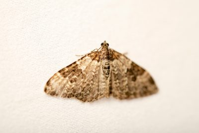 Photo: Garden carpet moth (Xanthorhoe fluctuata) at Graham's Quinta dos Malvedos Vineyard.