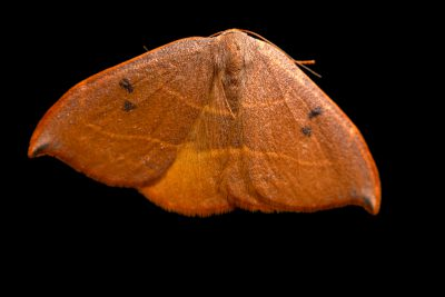 Photo: Spiny hook-tip moth (Watsonalla uncinula) at Graham's Quinta dos Malvedos Vineyard.