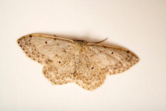 Photo: Mullein wave moth (Scopula marginepunctata) at Graham's Quinta dos Malvedos Vineyard.