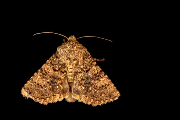 Photo: An unidentified moth (Noctuidae sp.) at Graham's Quinta dos Malvedos Vineyard.