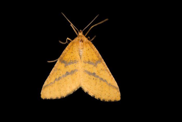 Photo: An unidentified moth (Geometridae sp.) at Graham's Quinta dos Malvedos Vineyard.
