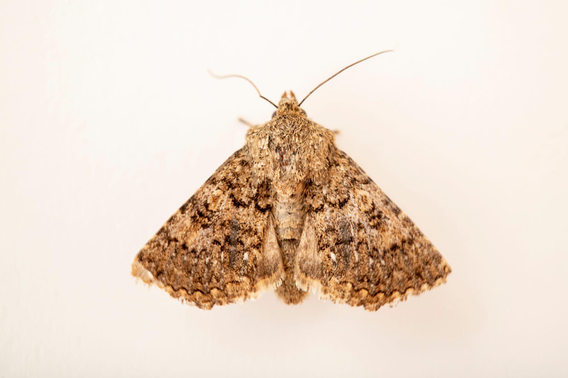 Photo: An unidentified moth (Noctuidae sp.) at Graham's Quinta dos Malvedos Vineyard.