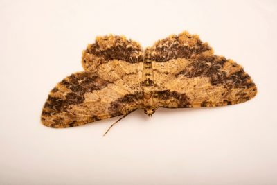 Photo: Loop-line bark moth (Ectropis bispinaria) at Lilydale High School in Australia.