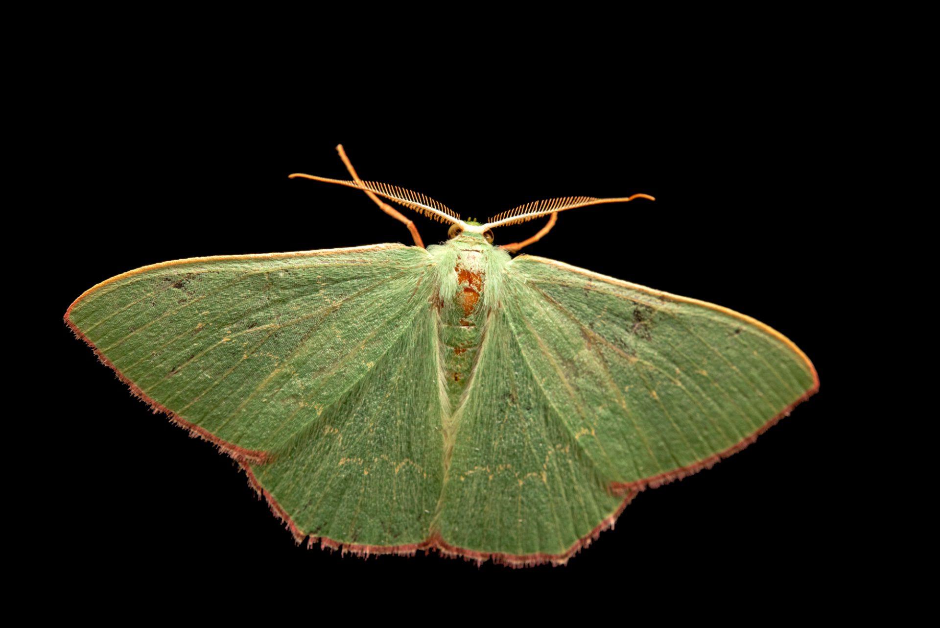 Photo: A male common gum emerald moth (Prasinocyma semicrocea) at Lilydale High School in Australia.