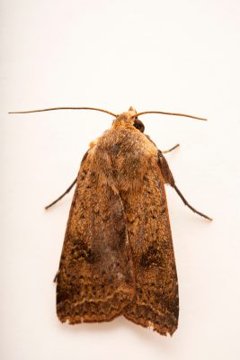Photo: Chevron cutworm moth (Diarsia intermixta) at Lilydale High School in Australia.