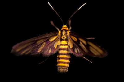 Photo: An unidentified tiger moth (Amata species) on Mindoro Island in the Philippines.