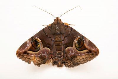 Photo: A Moth (Spirama helicina) at Negros Forest Park.