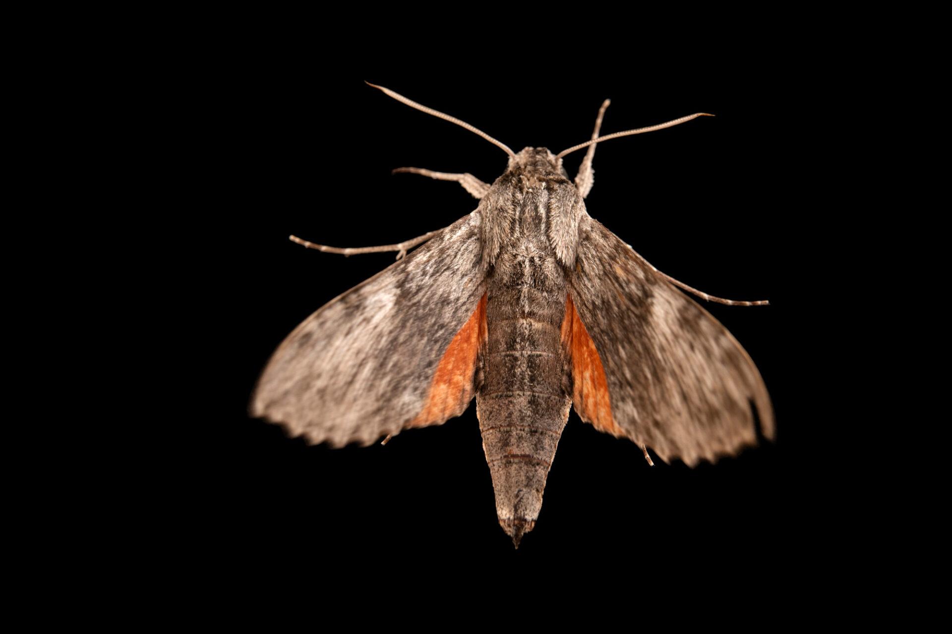 Photo: An unidentified species of moth at Centro Jambatu in Quito, Ecuador.