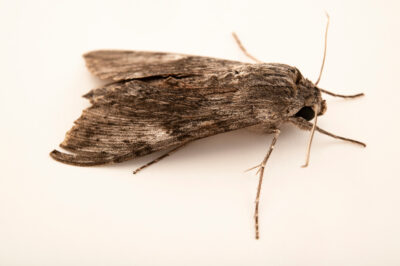 Photo: An unidentified species of moth at Centro Jambatu in Quito, Ecuador.