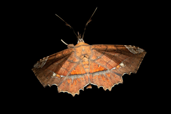 Photo: An unidentified moth from the wild in Manaus, Brazil.