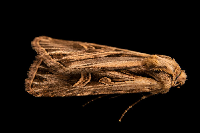 Photo: A cutworm moth (Dichagyris longidens), owlet moth family Noctuidae, cutworm or dart moth subfamily Noctuinae.