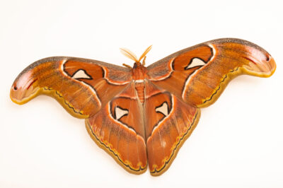Photo: An atlas moth (Attacus atlas) at the Butterfly Pavilion.