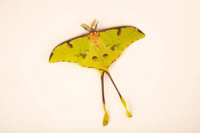 Photo: An African moon moth (Argema mimosae) at the Butterfly Pavilion.