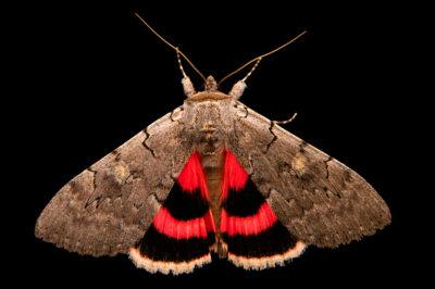 Photo: A pink underwing moth (Catocala concumbens) from Deerwood, MN.