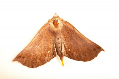 Photo: An unidentified moth species (Lepidoptera) at Fauna Andina, a conservation center near Villarrica, Chile.