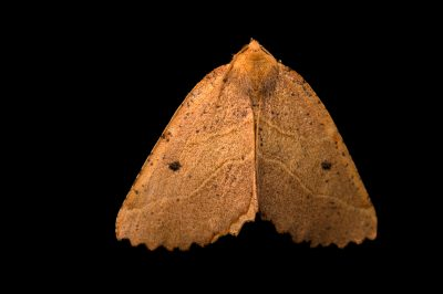 Photo: A unidentified moth species (Lepidoptera) at Fauna Andina, a conservation center near Villarrica, Chile.