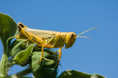 Photo: A grasshopper sits on a leaf in Lincoln.