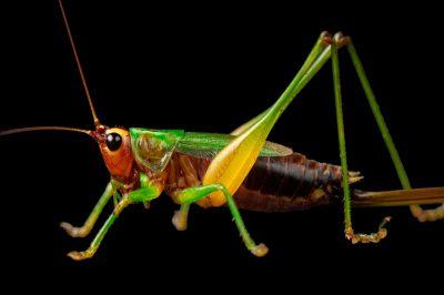 A gladiator meadow katydid (Orchelimum gladiator) found at Spring Creek Prairie near Denton, Nebraska.