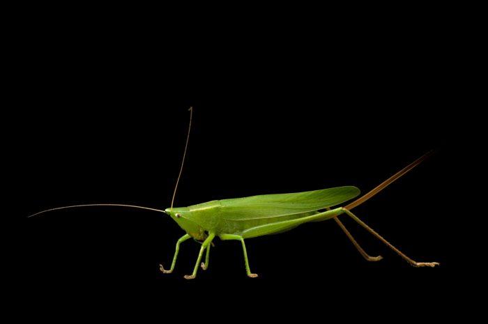 Photo: A swordbearing katydid (Neoconocephalus ensiger) found at Spring Creek Prairie.