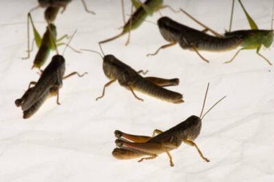 Photo: Various grasshoppers from Spring Creek Prairie near Denton.