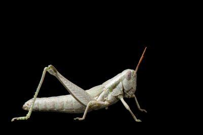 Photo: A cudweed grasshopper (Hypochlora alba) sits on a leaf at Spring Creek Prairie.