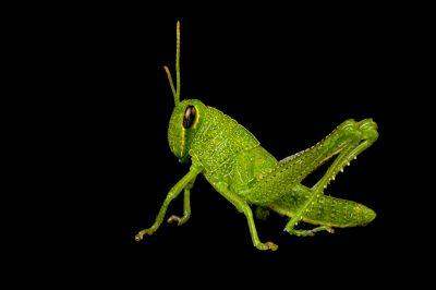 Photo: An obscure bird grasshopper (Schistocerca obscura) found at Spring Creek Prairie.