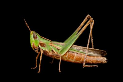 A nymphal red-legged grasshopper (Melanoplus femurrubrum) found at Spring Creek Prairie.