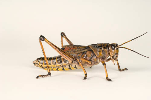 The southeastern lubber grasshopper (Romalea microptera) at Santa Fe Community College Teaching Zoo.