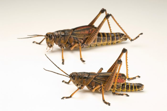 The southeastern lubber grasshopper (Romalea microptera) at Santa Fe Community College Teaching Zoo.