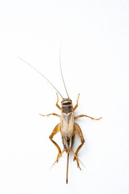 Photo: A common house cricket (Acheta domestica).