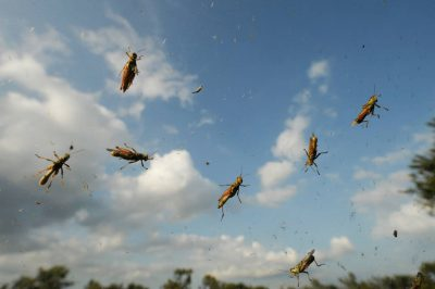 Photo: Grasshoppers on a truck windshield.