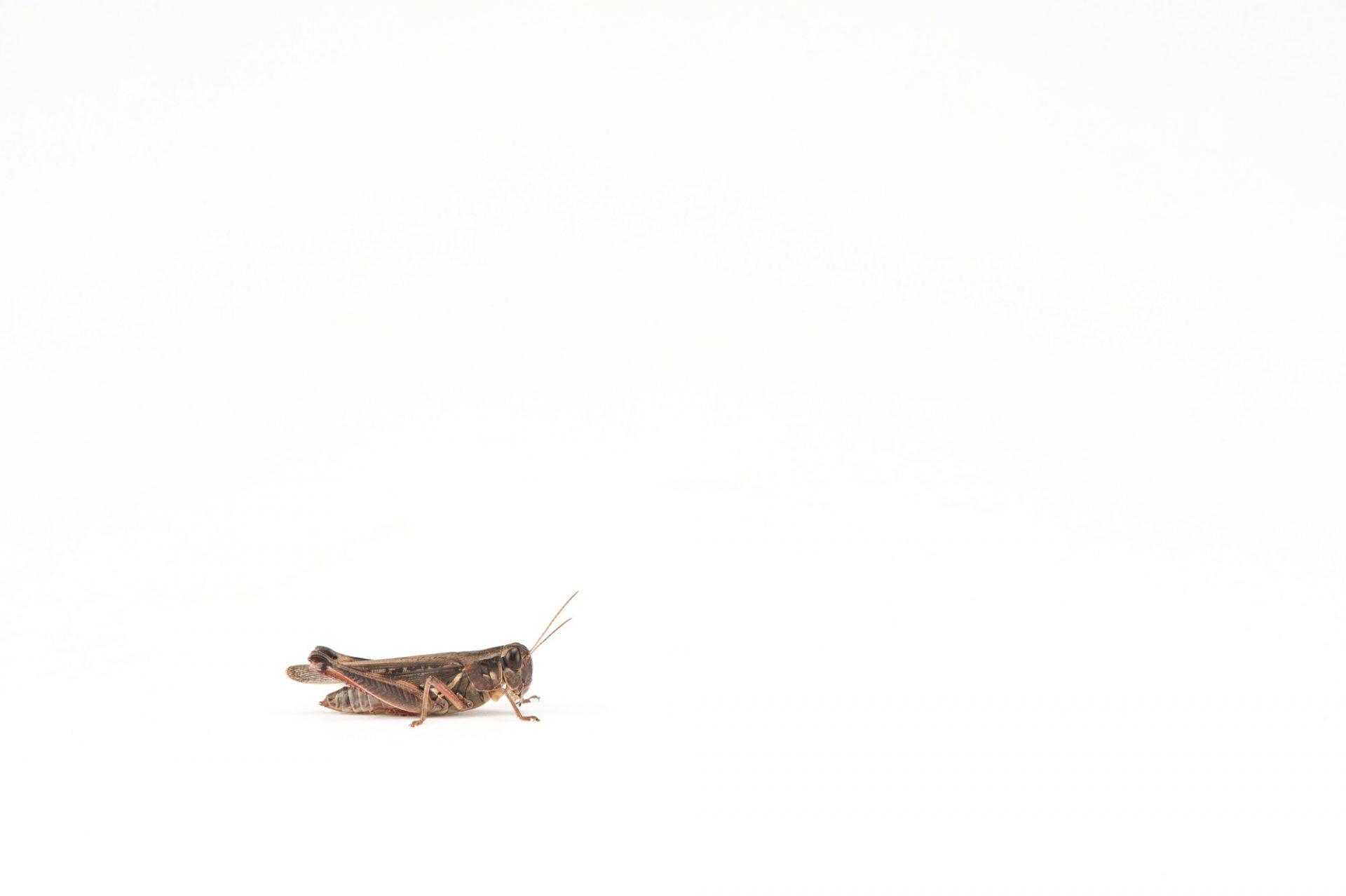 A narrow-winged spur-throat grasshopper (Melanoplus angustipennis) in Lincoln, Nebraska.