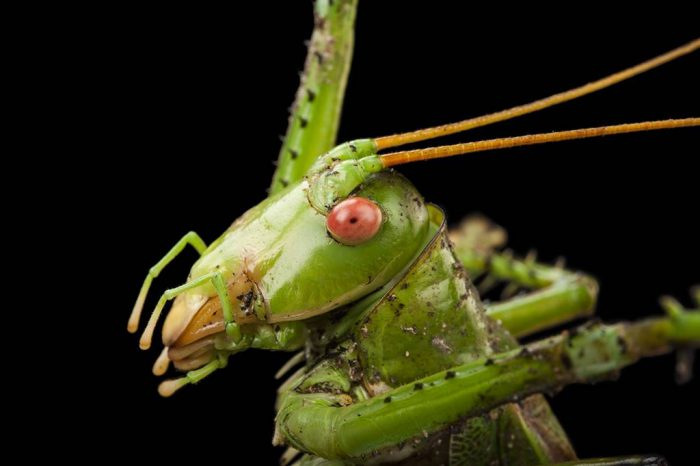 Photo: Greater-arid land katydid (Neobarrettia spinosa) at the Insectarium in New Orleans.